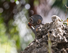 Dining alone (garryfowle) Tags: baby young eating vervet monkey africa wildlife kenya animal mombasa mammal