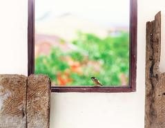 visitor (Collin Key) Tags: bird sparrow minimal highkey window indonesia sulawesi kabupatentorajautara sulawesiselatan indonesien id