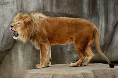Lion 8 (Emily K P) Tags: milwaukeecountyzoo zoo animal wildlife bigcat cat feline male lion tan yellow grey gray rock roar vocalize teeth mouth