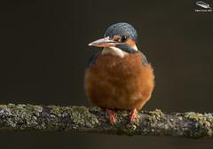 Kingfisher (female) (Mick Erwin) Tags: kingfisher female nikon afs 600mm f4e fl ed vr lens tc14e teleconverter iii d850 mick erwin stoke trent staffordshire wildlife nature