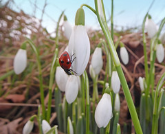 Ladybird on Snowdrops2 (g crawford) Tags: ladybird ladybug insect macro snowdrop snowdrops ayrshire northayrshire flower plant spring winter red white hunterston crawford january