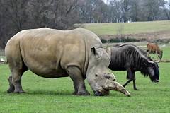 Trio with a bird (nickym6274) Tags: woburnsafaripark woburn bedfordshire uk southernwhiterhino rhinoceros rhino ceratotheriumsimumsimum brindledwildebeest connochaetestaurinus eland tragelaphusoryx bird animal