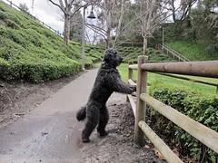 Benni checks out the park (Bennilover) Tags: aurorapark benni labradoodle checking fence rain mud fun running zoomies sniffing walking dog buddy