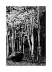 Aspen Woods (x.pozhr_ photography) Tags: aspen blackandwhite monochrome fuji fujifilm fujix fujixh1 55200 arizona nature naturephotography landscape