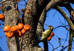 Pic vert (JeanJoachim) Tags: picvert picusviridis piciformes picidae oiseau bird vogel aves uccello fågel fugl pássaro バード lintu птица ptak grünspecht europeangreenwoodpecker pentaxk5ii smcpentaxf300mmf45edif