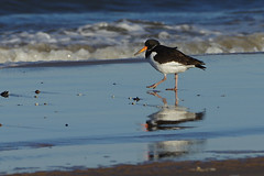 K32P0071a Oystercatcher, Titchwell Beach, November 2018 (bobchappell55) Tags: titchwell norfolk wild bird wildlife nature oystercatcher wader haematopusostralegus