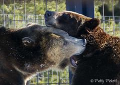 Grizzly & Wolf Discovery Center West Yellowstone (Pattys-photos) Tags: grizzlyandwolfdiscoverycenter westyellowstone montana pattypickett4748gmailcom pattypickett playing winter