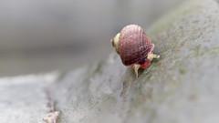 Dog-whelk walking (Maggie's Camera) Tags: dogwhelk walking alive shell antennae eyes rock macro olympus marloes pembrokeshire wales 19january2019