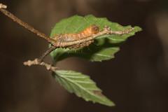 IMG_3397  Eterusia aedea formosana Jordan, 1907 茶斑蛾(蓬萊茶斑蛾) (vlee1009) Tags: 2019 60d january nantou taiwan caterpillars moths