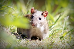 Cute looking rat by the pond in Tayfield Estate, Newport-On-Tay (milnefaefife) Tags: rattusnorvegicus rat brownrat mammal rodent wildlife animal nature newportontay fife scotland pond park tayfield tayfieldestate berrysden grass