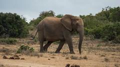 DSC08815 (Paddy-NX) Tags: 2019 20190109 addoelephantnationalpark africa elephant sony sonya77ii sonyalpha sonyalphaa77ii sonysal70300g southafrica wildlife