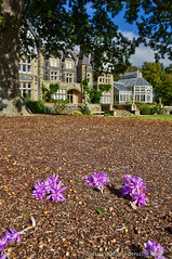 Naked lady flowers under the oak tree, with Bodnant house. (Tatters ✾) Tags: uk wales garden bodnantgarden pinkflowers colchicum colchicumautumnale colchicaceae acorn