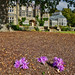 Naked lady flowers under the oak tree, with Bodnant house.