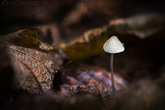 Scotch Bonnet (SkyeWeasel) Tags: scotland skye macro nature mushroom fungus fungi autumn leaflitter detritus saprophyte ngc npc