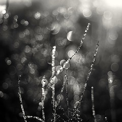 Bokeh from the archive (Stefano Rugolo) Tags: stefanorugolo pentax k5 pentaxk5 kmount smcpentaxm50mmf17 bokeh monochrome blackandwhite bubbles dew droplets drops water abstract grass manualfocuslens manualfocus manual vintagelens