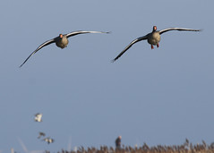 Cabo crew prepare for landing (Norfolkbookworm) Tags: cleynextthesea morston birds marsh