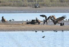 BALD EAGLE MEETING (concep1941) Tags: birds raptors hawkandeaglefamily coasts inladwaterways