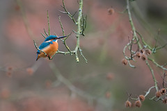 From a distance (Rob Zweers) Tags: kingfisher martinpêcheurdeurope eisvogel martínpescadorcomún guardarioscomum kungsfiskare alcedoatthis ijsvogel