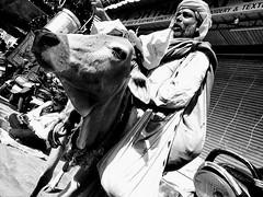 India series (Nick Kenrick.) Tags: cow india hindu