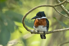 Green Kingfisher (J. E. Foster) Tags: caribbean caroni nikond7100 sigma150600mmf563dgoshsm trinidadandtobago animal bird caroniswamp nature wildlife greenkingfisher