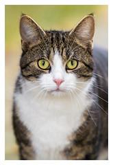 Nachbarskatze 2 ([.][of][view]) Tags: 6d cat chat katze canon canon6d color canonef70200f28lisiiusm