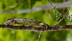 Spiny or Warty Chameleon (Furcifer verrucosus) (Susan Roehl) Tags: madagascar2017 islandofmadagascar offtheeastcoastofafrica berentyreserve wartyakaspinychameleon furciferverrucosus southerncoast chameleon animal reptile endemic westpartofisland ariddisturbedland nearthesea terrestrial lowbushes feedsoninsects lays30to60eggsayear 6motoayear tomature coldblooded canchangecolors prehensiletail diurnal solitary oftenaggresive bulgingeyes moveindependently longtongues opportunistic sueroehl photographictours naturalexposures panasonic lumixdmcgh4 100400mmlens handheld cropped lizard macro coth5 ngc