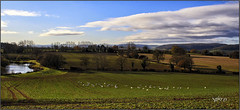 Herd Of Swans In The Field.. (Picture post.) Tags: landscape nature green swans pool fields trees clouds shadows bluesky paysage arbre water