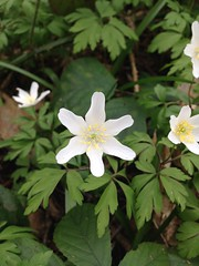 Wood Anemone - Anemone nemorosa (joedobinson) Tags: anemonenemorosa woodanemone woodland naturalworld naturalhistory nature britishwildlife wildlife wildflower plants sturry kent stourvalley