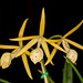 Brassavola Yellow Bird – Maryanne Kind