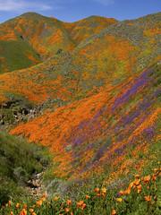 Super Bloom Lake Elsinor California (swissuki) Tags: ca california poppy super bloom nature landsacape mountain us
