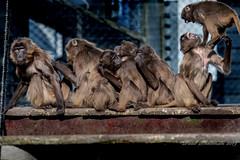 Before the chaos (muppet1970) Tags: geladababoon baboon colchesterzoo zoo primate queing line platform jumping captive