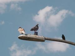 P1022583 (Claussm) Tags: vsco jupiter soviet russian 21m lens lumix telephoto arizona bird pigeon az sky