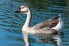 Interesting Swan Goose (MelRoseJ) Tags: elkgrove california unitedstatesofamerica us nature northerncalifornia birds sonyilca77m2 sal70200g elkgroveregionalpark