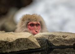 Curious George (David Recht) Tags: japan nagano shibuonsen snowmonkey shimotakaidistrict naganoprefecture jigokudani japanese macaque cute face eyes winter onsen hot spring