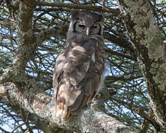 Verreaux's eagle-owl (Mark Vukovich) Tags: verreauxs eagleowl owl bird nocturnal raptor ndutu tanzania
