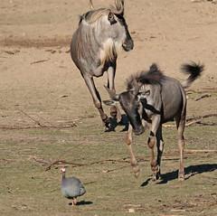 wildebeast Burgerszoo 094A0503 (j.a.kok) Tags: animal africa afrika antilope wildebeast gnoe gnu mammal zoogdier dier herbivore burgerszoo burgerzoo