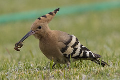 Tasty snack? (Chris Bainbridge1) Tags: upupaepops hoopoe eating larvae algarve