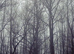 Lodsworth (Simon Verrall) Tags: trees mist hollist lodsworth december fog woods silhouette atmosphere 2018 forest cold grey sussex westsussex