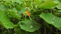 Капли дождя (unicorn7unicorn) Tags: капли tmi листья зеленый contest 365the2019edition 3652019 day90365 31mar19 colorfulnature