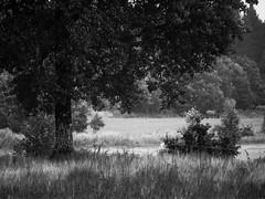 The Horse (Elias. K) Tags: sweden scenery sverige summer scandinavia tree trees nature landscape västragötaland animal horse background bw black white blackwhite leaf plant