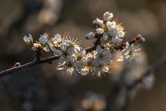 Aubépines (heijoelle) Tags: printemps fleur macro nature aubépine matinée moselle france delme lorraine hawthorn macrophotographie