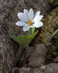 Bloodroot (wplynn) Tags: fort ft ben benjamin harrison state park indianapolis in indiana ftharrisonstatepark fortharrisonstatepark statepark wild flower ephemeral ephemerals bloodroot sanguinaria canadensis 2019