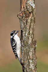 Woodpecker (adbecks) Tags: woodpecker d500 200500mm