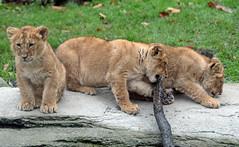 asiatic lion Blijdorp 094A0534 (j.a.kok) Tags: animal asia azie asiaticlion aziatischeleeuw blijdorp mammal zoogdier dier predator leeuw lion pantheraleopersica