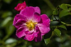Flowers (ost_jean) Tags: bloemen fleurs nikon d5200 tamron sp 90mm f28 d ostjean nature natuur colors rose roos