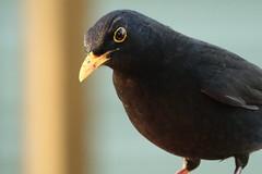 Mister Blackbird (hedgehoggarden1) Tags: blackbird gardenbird wildlife gardenwildlife animals nature sonycybershot creature bird rspb birds norfolk eastanglia uk sony
