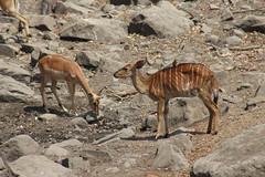Nyala and Impala (Rckr88) Tags: krugernationalpark southafrica kruger national park south africa nyala impala nyalaandimpala animal animals antelope nature outdoors travel