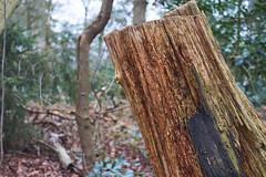 Nulbos (Jos Mecklenfeld) Tags: forest bos wald nature natur natuur tree baum boom oak eiche eik nulbos westerwolde niederlande nederland sonya6000 sonyilce6000 minoltamdwrokkor35mmf28 minolta minoltamd terapel groningen netherlands nl