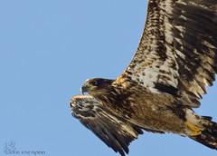 Juvenile Bald Eagle. (Estrada77) Tags: juvenile baldeagle eagle raptors birds birding birdsofprey distinguishedraptors wildlife winter2019 feb2019 foxriver kanecounty outdoors nature nikon nikond500200500mm inflight illinois animals