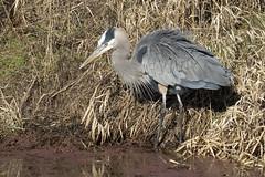 IMG_0621p1 (zadieyek) Tags: birds wildlife washington ridgefieldnwr